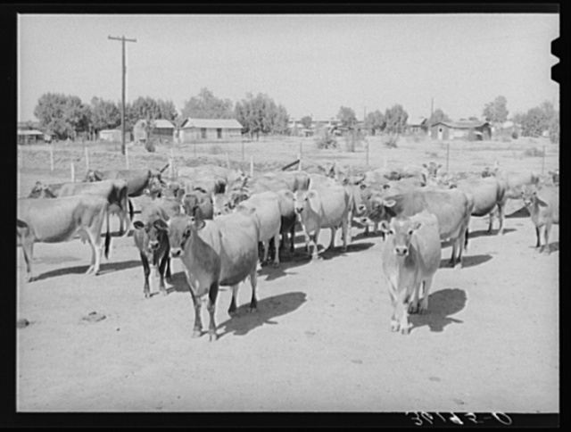 Part of the fine dairy herd at the Arizona part-time farms. Maricopa County, Arizona