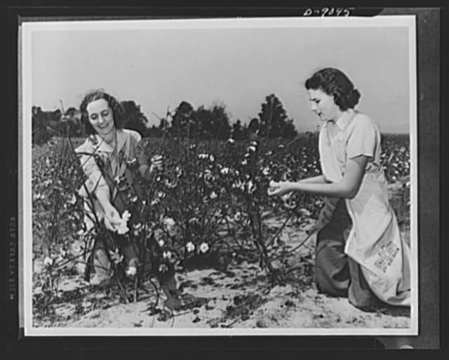 Picking cotton is one of the most easily learned occupations for women in the U.S. Crop Corps. These two city girls, putting their vacation to good use, may well wear the cotton they are picking in the form of work slacks and shirts next year