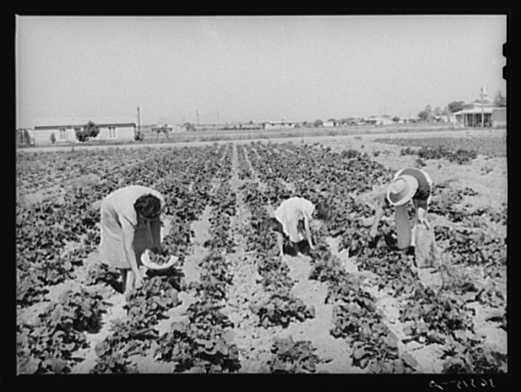 Picking vegetables in the community garden at the Casa Grande Valley Farms. Pinal County, Arizona