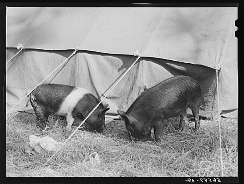 Pigs rooting around construction workers' tent while men are on job at Camp Livingston. Alexandria, Louisiana