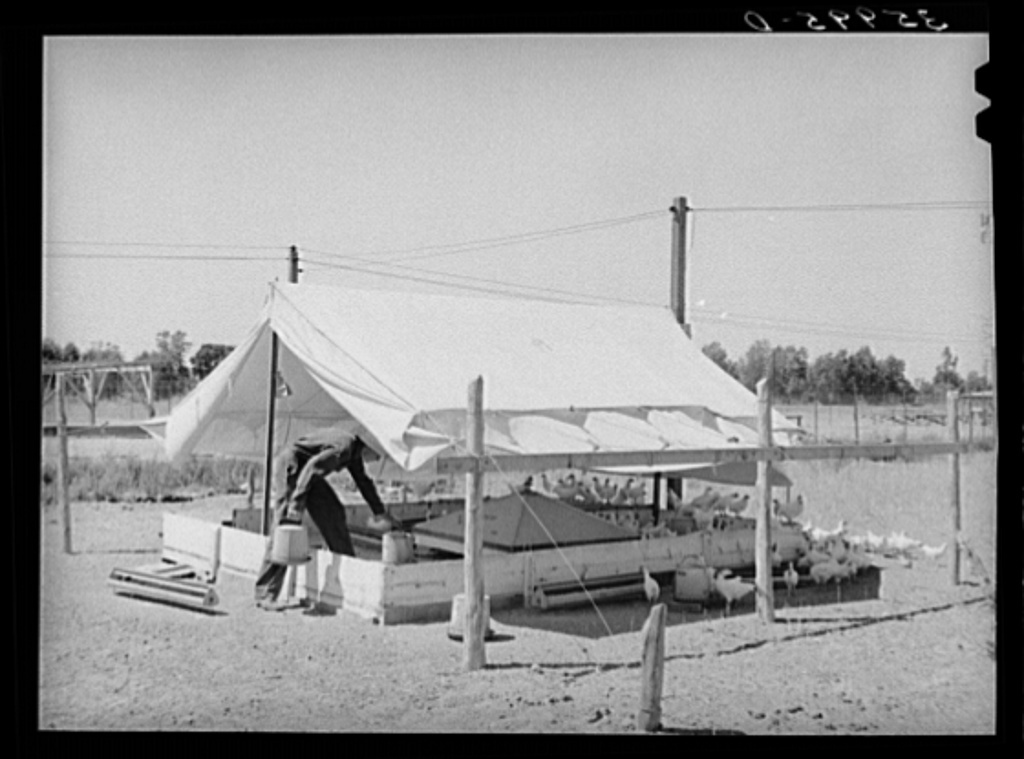 Poultry raising is one of the mainstays of the Arizona part-time farms. Chandler Unit, Maricopa County, Arizona