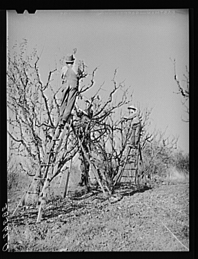 Pruning fruit trees. Placer County, California