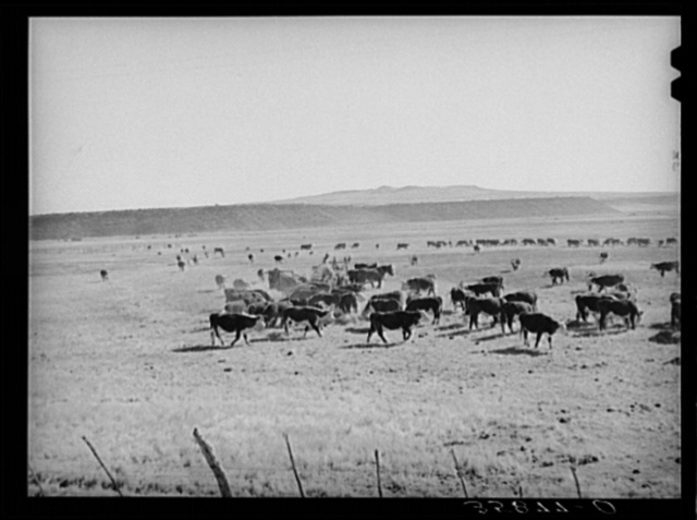 Rancher feeding hay to cattle. Apache County near Springerville, Arizona. Rancher feeding hay which was raised through flood irrigation in the Little Colorado River Valley
