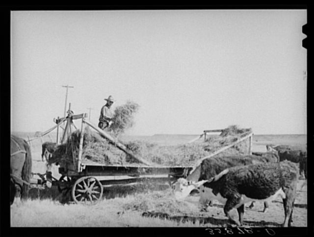 Rancher feeding hay which was raised through flood irrigation in the Little Colorado River Valley. Apache County near Springerville, Arizona
