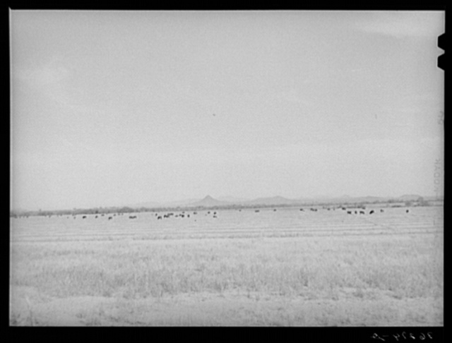 Range cattle at the Casa Grande Valley Farms. Pinal County, Arizona