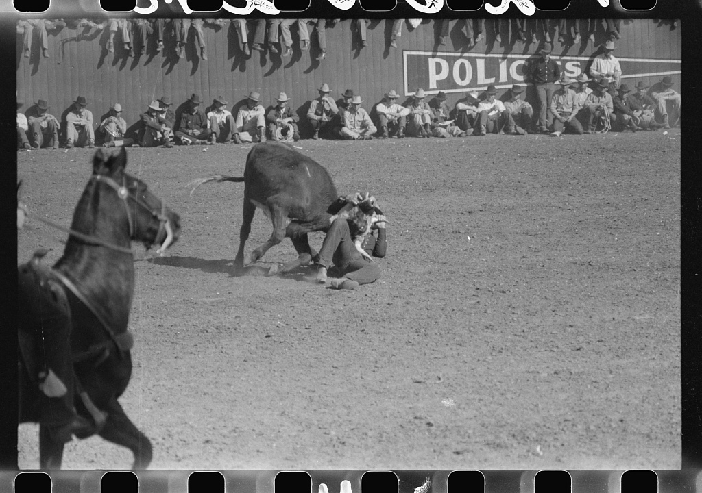 Rodeo performer bulldogging a calf at the rodeo of the San Angelo Fat Stock Show, San Angelo, Texas