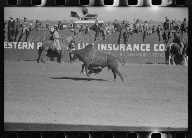 Rodeo performer riding Brahma bull at the rodeo of the San Angelo Fat Stock Show, San Angelo, Texas