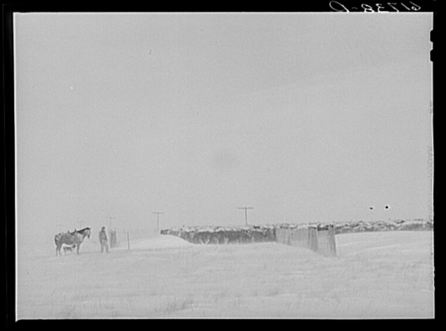 Rounding up cattle during first stages of snow blizzard. Lyman County South Dakota