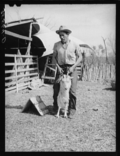 Shearer handling a goat which will be shorn. Kimble County, Texas