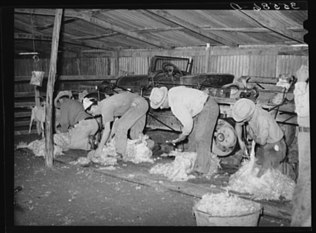 Shearing goats on ranch in Kimble County, Texas. This is a gang of Mexicans who travel through the goat and sheep country to do the shearing. They were paid seven cents per goat and each man can shear from one hundred to one hundred and fifty goats a day. Power for shearing is furnished by old automobile converted to this purpose. Kimble County, Texas