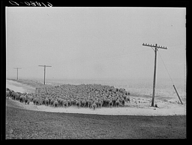 Sheep being herded in as blizzard approaches. Hyde County, South Dakota