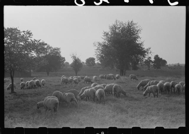Sheep grazing on farm of Russell Spears near Lexington, Kentucky