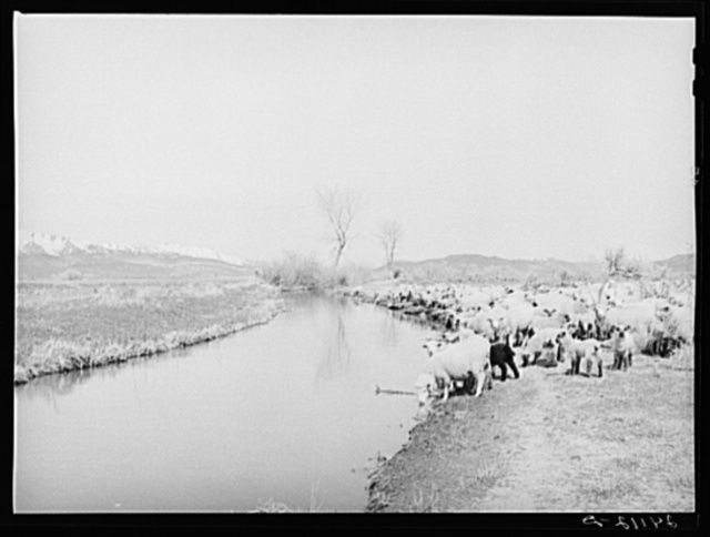 Sheep watering at irrigation ditch. Danberg Ranch, Douglas County, Nevada