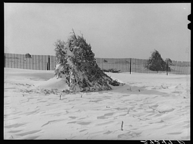 Shocks of corn and snow fence. Montgomery County, Maryland