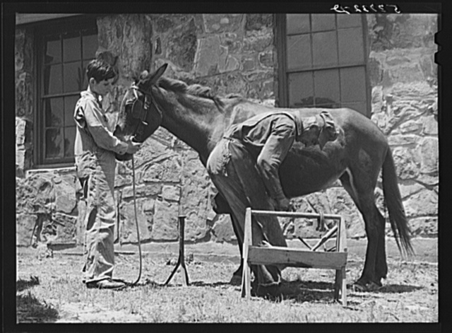 Shoeing a mule at community service center. Faulkner County, Centerville, Arkansas (see general caption)