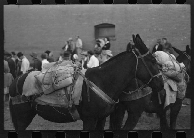 Silverton, Colorado. Labor Day celebration. Burros loaded with ore sacks in the burro-loading contest