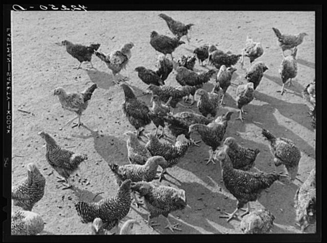 Some of the two thousand poulets on the poultry farm of Mr. August Udal, Finnish FSA (Farm Security Administration) client. Canterbury, Connecticut
