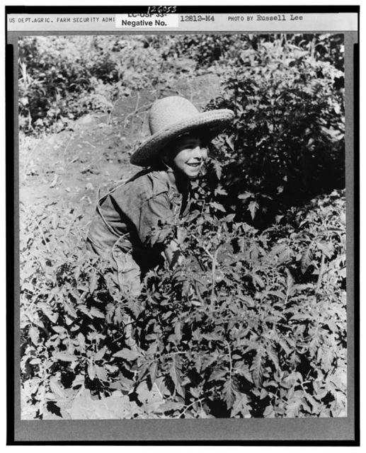 Spanish-American boy surrounded by tomato plants, Chamisal, New Mexico