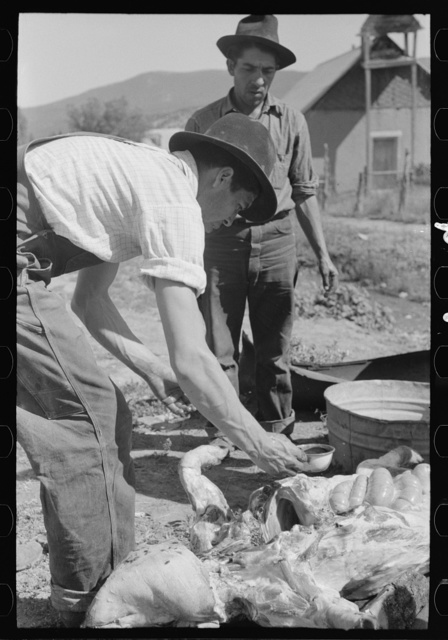 Spanish-American farmer dipping blood out of cavity in slaughtered hog. Chamisal, New Mexico