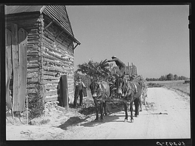 Storing corn stalks in tobacco barn for winter fodder for the stock on farm. Corbett Ridge section, Caswell County, North Carolina