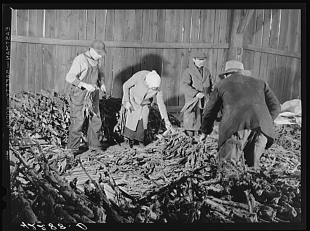 Stripping tobacco on the farm of Mr. William and Mr. Martin O'Donnell. The three workers in the background are Polish hired helpers. Windsorville, Connecticut