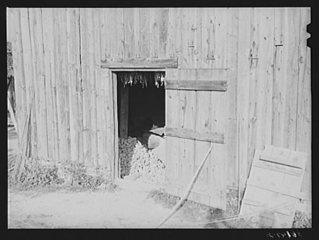 Sweet potatoes stored for the winter in Negro tenant's tobacco barn. Caswell County, North Carolina