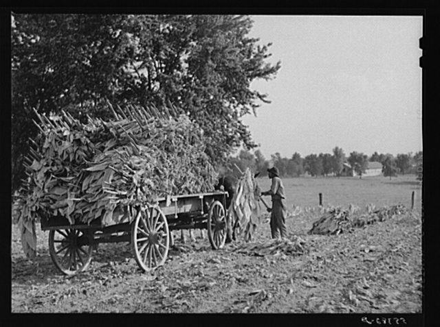Taking burley tobacco in from the fields after it has been cut, to dry and cure in the barn. On Russell Spear's farm near Lexington, Kentucky