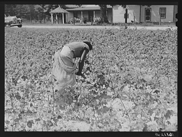 Tenants picking cotton on Highway 15, about seven miles south of Chapel Hill. Chatham County, North Carolina