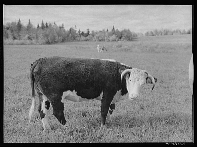 The raising of beef cattle such as this on the farm of Waldo Holquist is encouraged by FSA (Farm Security Administration) to supplement the income from potatoes. New Sweden, Maine