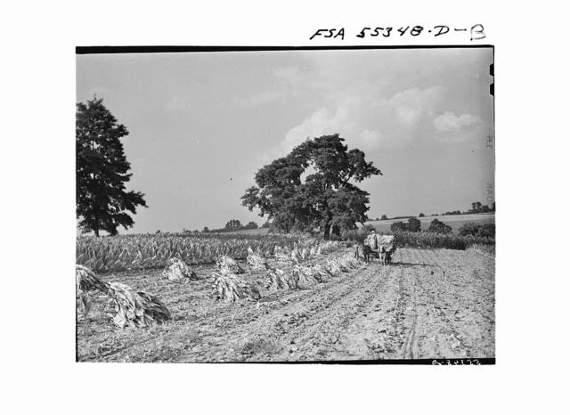 Tobacco on Russell Spear's farm near Lexington, Kentucky