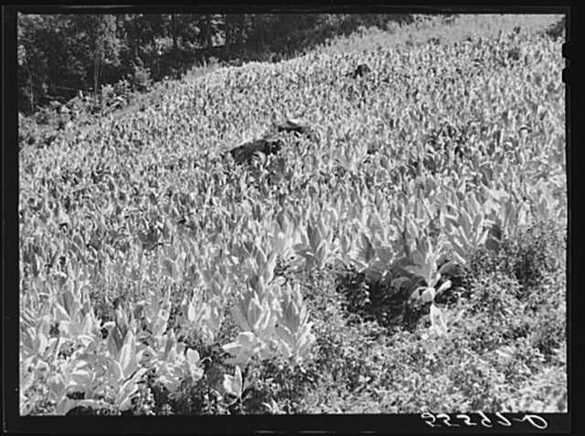 Tobacco ripening and ready for cutting on steep hillside in mountain section. Perry County, Kentucky