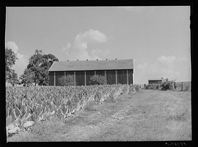 Tobacco ripening in the field by curing barn on Russell Spear's farm near Lexington, Kentucky