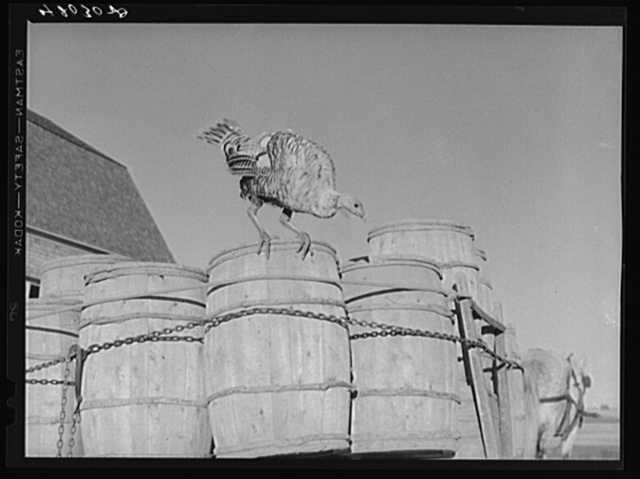 Turkey on the farm of Robert Cunningham, potato farmer near Washburn, Maine
