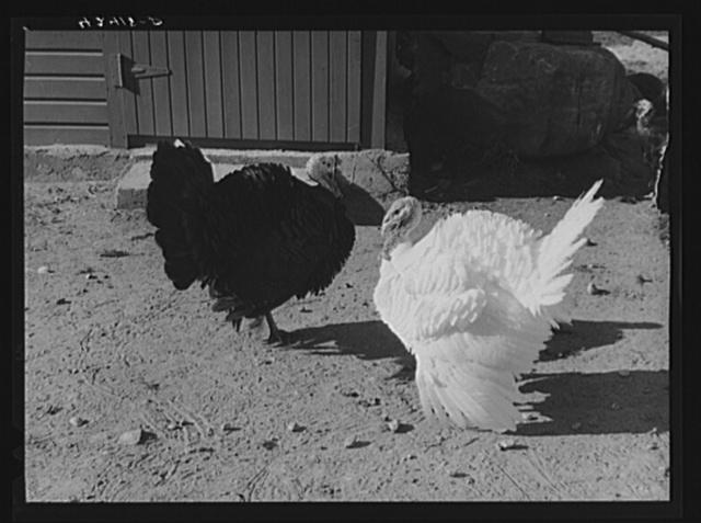 Turkeys on the farm of Mr. Metzendorf, Jewish poultry farmer. Ledyard, Connecticut