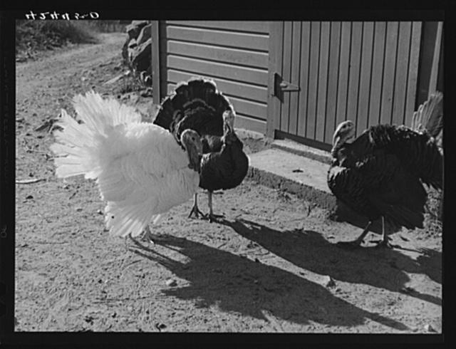 Turkeys on the farm of Mr. Metzendorf, Jewish poultry farmer of Ledyard, Connecticut