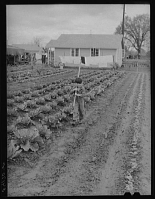 Vegetable garden in back of labor home. Tulare migrant camp. Visalia, California