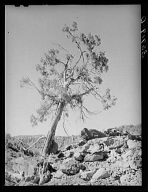 Western Juniper growing in Carrizo Creek Valley. Navajo County, Arizona