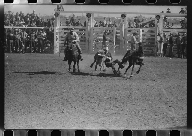 """""""Wild steer wrestling"""" at the rodeo of the San Angelo Fat Stock Show, San Angelo, Texas. Two cowboys ride the wild steer between them before one of them dismounts to bulldog the steer"""