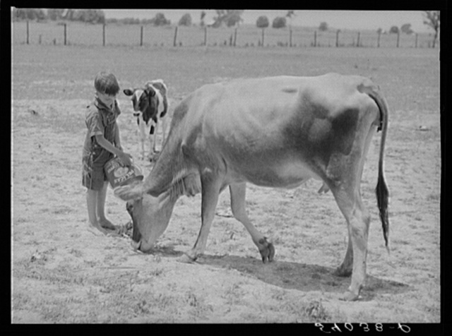 Willy D. Anglin's milk cow being fed by his son. Transylvania Project, Louisiana