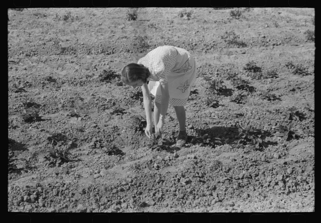 Woman living on the Casa Grande Valley Farms in Pinal County, Arizona, pPicking strawberries. Members of this cooperative project have both cooperative gardens and small individual plots for raising specialty crops for home consumption