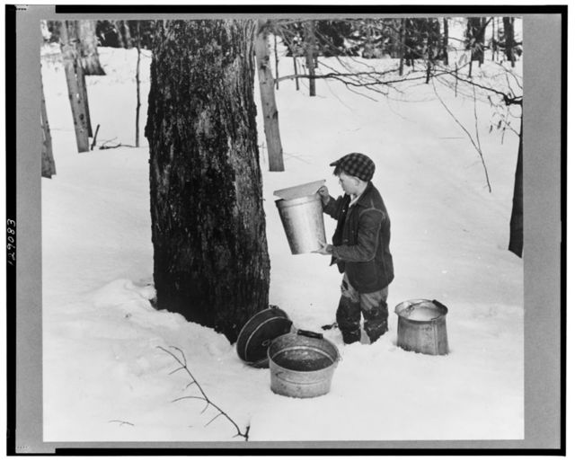 Young son of Frank H. Shurtleff gathering sap from sugar trees for making maple syrup. Sugaring is a social event and is enjoyed by all the young people and children in the neighborhood. The Shurtleff farm has about 400 acres and was originally purchased by grandfather in 1840. He raises sheep, cows, cuts timber and has been making maple syrup for the last thirty-five years. Sugaring brings in about one thousand dollars annually. Because of the deep snow this year he only tapped 1000 of his 2000 trees. He expects to make about 300 to 500 gallons this year. North Bridgewater, Vermont