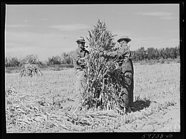 A.E. Scott and his son Charles tying up shocks of sorghum cane for livestock fodder on their farm northeast of Scottsbluff, Nebraska. See general caption number one