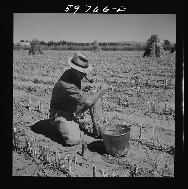 A.E. Scott's son Charles tying up shocks of sorghum cane for livestock fodder on their farm northeast of Scottsbluff, Nebraska. See general caption number one