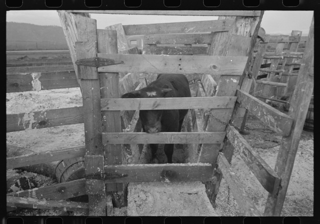 Cattle being tested with blue vitriol solution for hoof rot, Cruzen Ranch, Valley County, Idaho