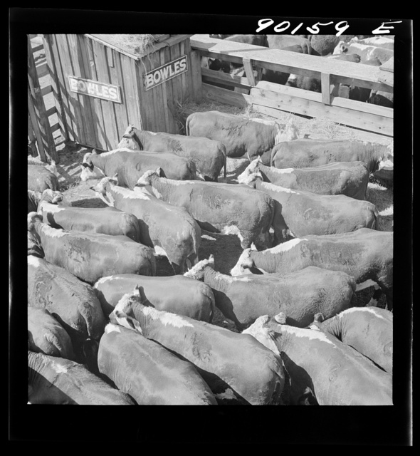 Cattle in pens at the Union Stockyards before the auction sale. Omaha, Nebraska