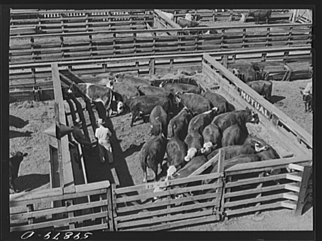 Cattle in pens at Union Stockyards before auction sale. Omaha, Nebraska
