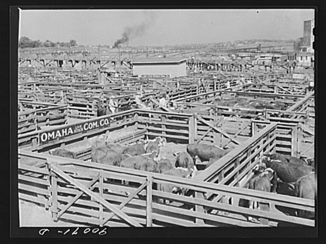 Cattle in pens at Union Stockyards before auction sale. Omaha, Nebraska