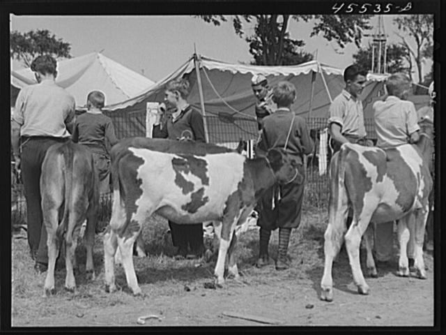 Cattle judging at the Rutland Fair, Vermont