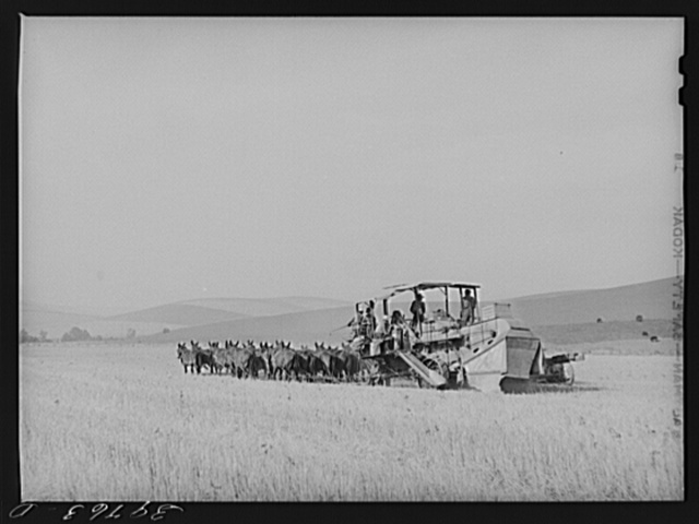 Combining wheat with twenty mule team. Walla Walla County, Washington. There are very few of these mule teams still used, tractors having displaced them