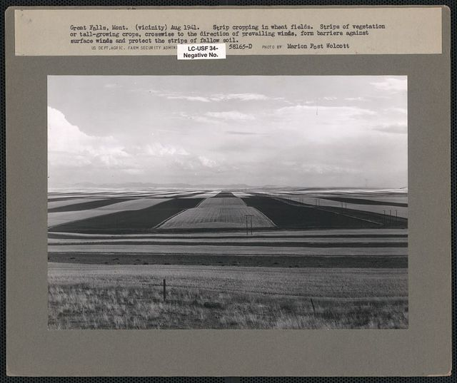 Contour ploughing and strip cropping wheat fields just north of Great Falls, Montana